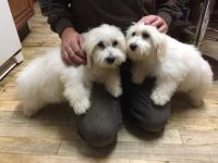Coton De Tulear Puppies for sale in New York Ave NW, Washington, DC, USA. price: NA
