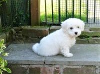 Coton De Tulear Puppies for sale in New York, NY, USA. price: NA