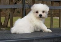 Coton De Tulear Puppies for sale in Seattle, WA, USA. price: NA