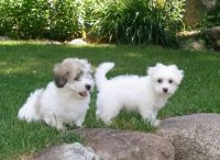 Coton De Tulear Puppies for sale in Charleston, WV, USA. price: NA