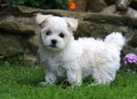 Coton De Tulear Puppies for sale in Omaha, NE, USA. price: NA