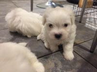 Coton De Tulear Puppies for sale in 2018 Elizabeth St, Springfield, IL 62702, USA. price: NA
