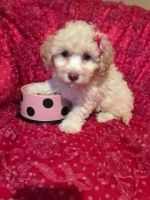 Coton De Tulear Puppies for sale in West Bloomfield Township, MI, USA. price: NA