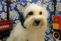 Coton De Tulear Puppies for sale in Hulbert, OK 74441, USA. price: NA