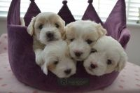 Coton De Tulear Puppies for sale in IL-53, Itasca, IL, USA. price: NA