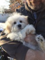 Coton De Tulear Puppies for sale in Visalia, CA, USA. price: NA