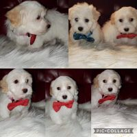 Coton De Tulear Puppies for sale in Chicago, IL, USA. price: NA