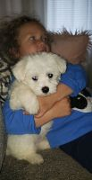 Coton De Tulear Puppies for sale in Portland, OR, USA. price: NA