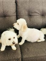 Coton De Tulear Puppies for sale in Miami, FL 33157, USA. price: NA