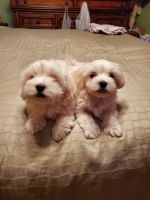 Coton De Tulear Puppies for sale in Bloomsburg, PA 17815, USA. price: NA
