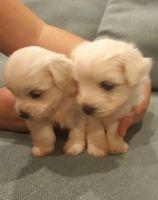 Coton De Tulear Puppies Photos