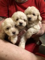 Coton De Tulear Puppies for sale in Hamilton, OH, USA. price: NA