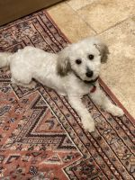 Coton De Tulear Puppies for sale in Houston, TX, USA. price: NA