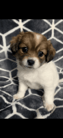 Coton De Tulear Puppies for sale in Reston, VA, USA. price: NA