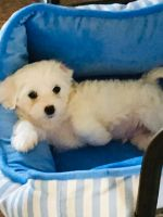 Coton De Tulear Puppies for sale in Birmingham, AL, USA. price: NA
