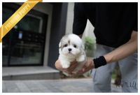 Coton De Tulear Puppies for sale in Beverly Hills, CA, USA. price: NA