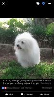 Coton De Tulear Puppies for sale in Burnet, TX 78611, USA. price: NA