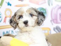 Coton De Tulear Puppies for sale in Phoenix Metropolitan Area, AZ, USA. price: NA