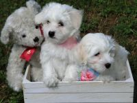 Coton De Tulear Puppies for sale in Hampton, GA 30228, USA. price: NA