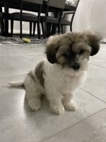 Coton De Tulear Puppies for sale in Cape Coral, FL, USA. price: NA
