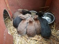 Cottontail Rabbits Photos