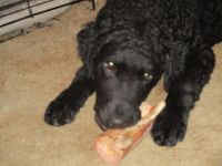 Curly Coated Retriever Puppies Photos