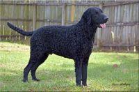 curly coated retriever dog