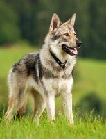 czechoslovakian wolfdog dog