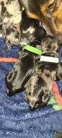 Dachshund Puppies for sale in Killeen, TX, USA. price: NA