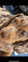 Dachshund Puppies for sale in Stone Mountain, GA, USA. price: NA
