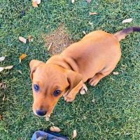 Dachshund Puppies for sale in Houston, TX, USA. price: NA
