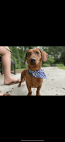 Dachshund Puppies for sale in Sandy Springs, GA, USA. price: NA