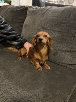 Dachshund Puppies for sale in Wesley Chapel, FL, USA. price: NA