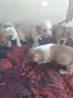 Dachshund Puppies for sale in Clearlake Oaks, CA 95423, USA. price: NA