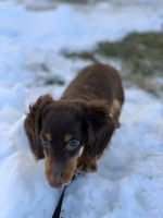 Dachshund Puppies for sale in Greenwood, IN, USA. price: NA