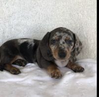 Dachshund Puppies for sale in Bloomington, IN, USA. price: NA