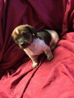 Dachshund Puppies for sale in Miami, FL, USA. price: NA