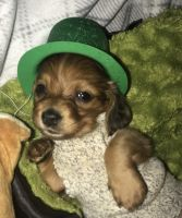 Dachshund Puppies for sale in Akron, OH, USA. price: NA