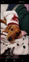 Dachshund Puppies for sale in Merrillville, IN, USA. price: NA