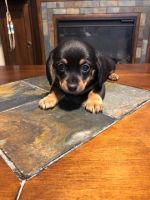 Dachshund Puppies for sale in Phoenix, AZ, USA. price: NA