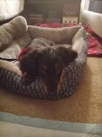 Dachshund Puppies for sale in Watchung, NJ, USA. price: NA