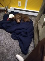 Dachshund Puppies for sale in Gates, NC 27937, USA. price: NA