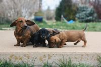 Dachshund Puppies for sale in San Diego, CA 92101, USA. price: NA
