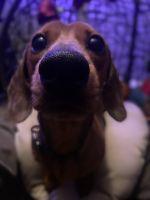 Dachshund Puppies for sale in Atlanta, GA, USA. price: NA
