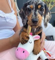 Dachshund Puppies for sale in Hudsonville, MI 49426, USA. price: NA