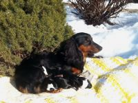 Dachshund Puppies for sale in Frederick, MD, USA. price: NA