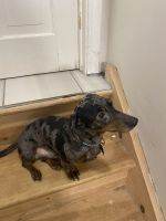 Dachshund Puppies for sale in Danbury, CT, USA. price: NA