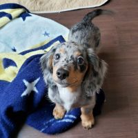 Dachshund Puppies for sale in Los Angeles, CA, USA. price: NA
