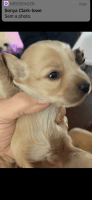 Dachshund Puppies for sale in Canton, OH 44706, USA. price: NA