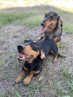 Dachshund Puppies for sale in Orlando, FL, USA. price: NA